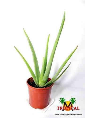 Promotions la boutique antillaise - Aloe vera plante prix ...